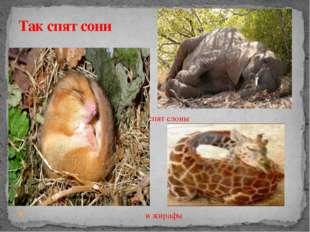 Так спят слоны и жирафы Так спят сони