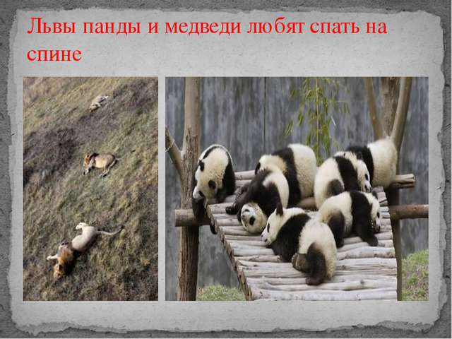 Львы панды и медведи любят спать на спине