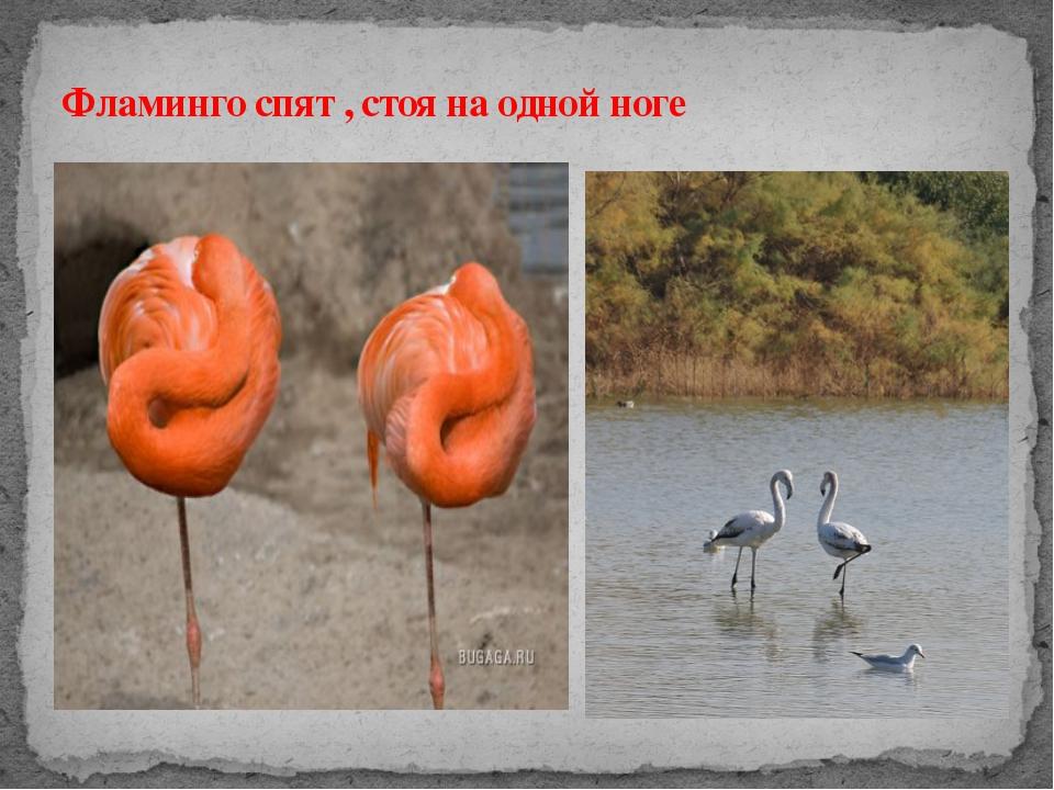 Фламинго спят , стоя на одной ноге