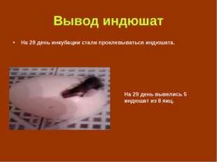 Вывод индюшат На 28 день инкубации стали проклевываться индюшата. На 29 день