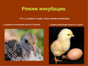 Режим инкубации. Есть у каждого вида птицы время инкубации. у индюков инкуба