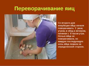 Переворачивание яиц Со второго дня инкубации яйца начали поворачивать 3 раза;