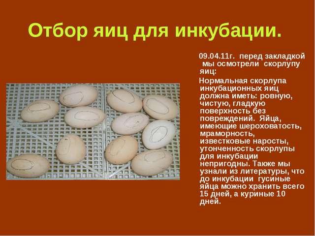 Отбор яиц для инкубации. 09.04.11г. перед закладкой мы осмотрели скорлупу яиц...