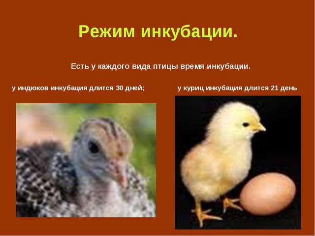 Режим инкубации. Есть у каждого вида птицы время инкубации. у индюков инкуба...
