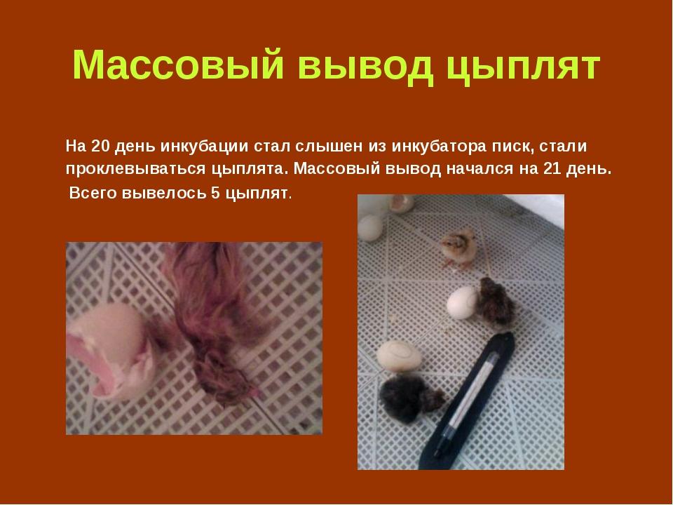 Массовый вывод цыплят На 20 день инкубации стал слышен из инкубатора писк, ст...