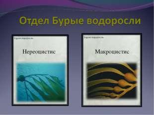 Нереоцистис Макроцистис