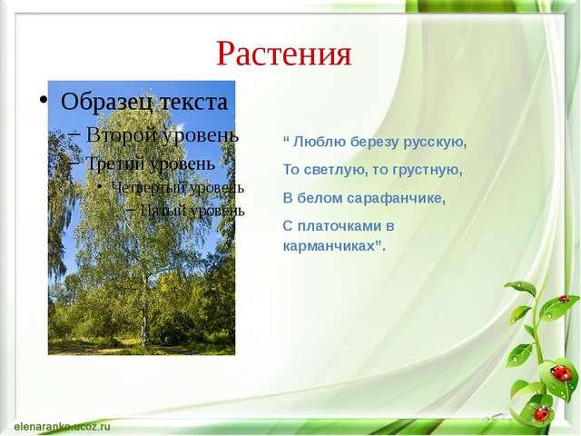 """Растения """" Люблю березу русскую, То светлую, то грустную, В белом сарафанчике..."""
