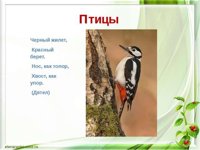 Птицы Черный жилет, Красный берет. Нос, как топор, Хвост, как упор. (Дятел)