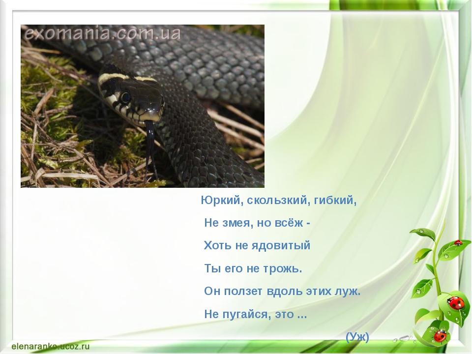 Юркий, скользкий, гибкий, Не змея, но всёж - Хоть не ядовитый Ты его не трожь...