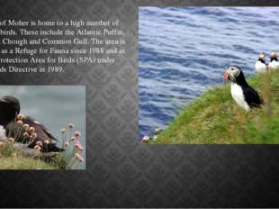 The Cliffs of Moher is home to a high number of nesting seabirds. These inclu