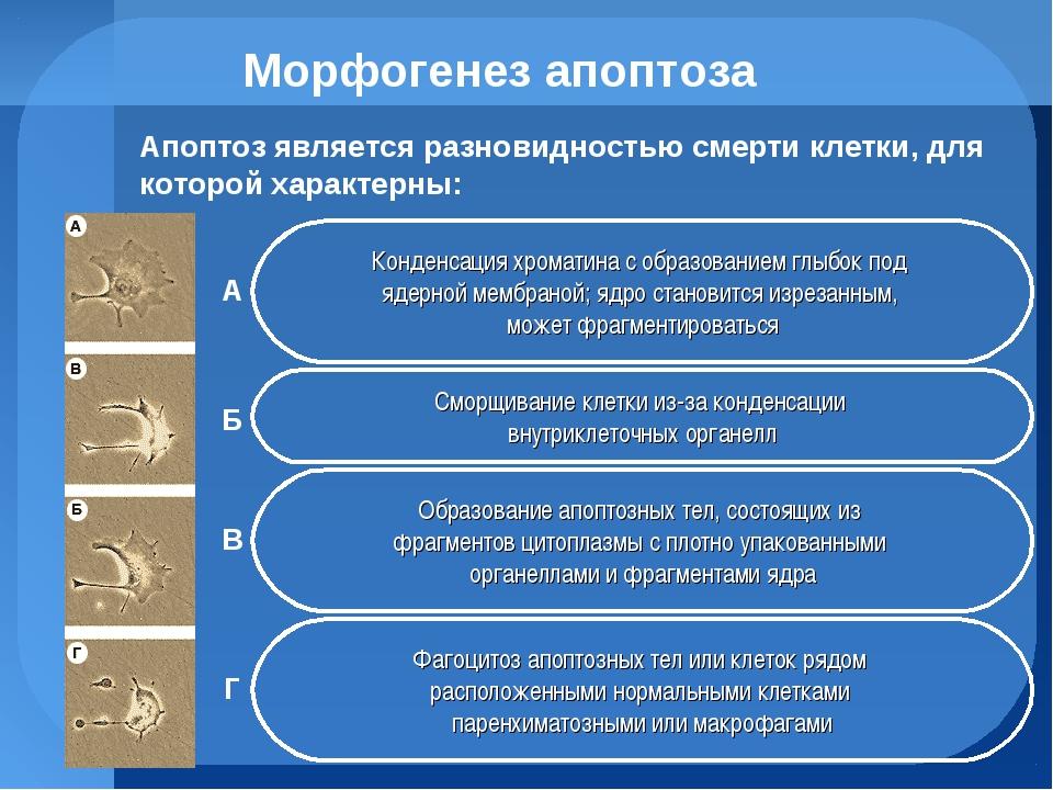 Морфогенез апоптоза Конденсация хроматина с образованием глыбок под ядерной м...