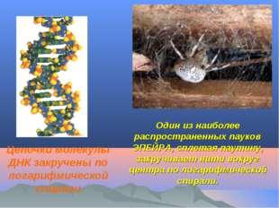 Один из наиболее распространенных пауков ЭПЕЙРА, сплетая паутину, закручивает