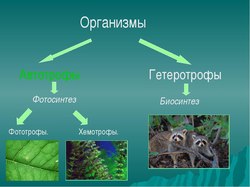 Организмы Автотрофы Гетеротрофы Биосинтез Фотосинтез Фототрофы. Хемотрофы.