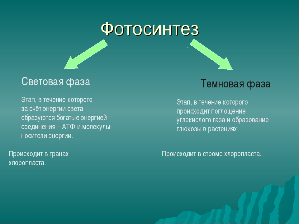Фотосинтез Световая фаза Темновая фаза Этап, в течение которого за счёт энерг...