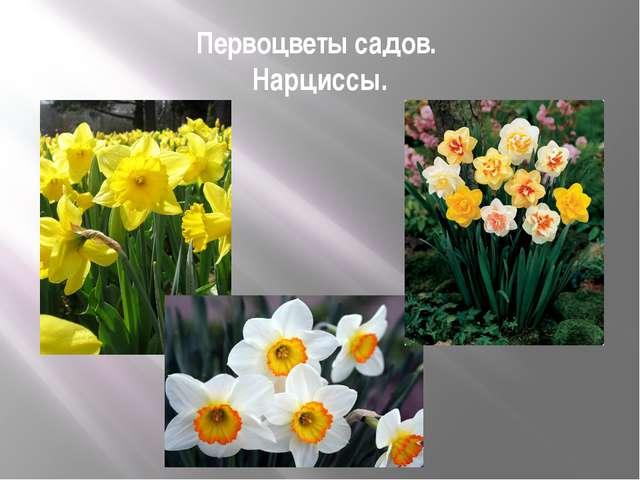 Первоцветы садов. Нарциссы.