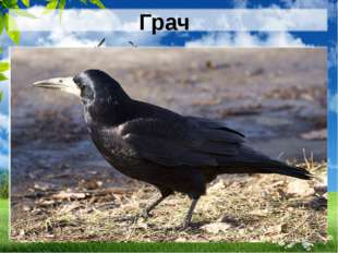 Грач Всех прилетных птиц черней, Чистит пашню от червей. Взад-вперед по пашне