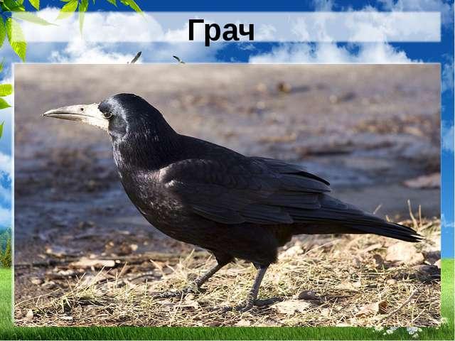 Грач Всех прилетных птиц черней, Чистит пашню от червей. Взад-вперед по пашне...