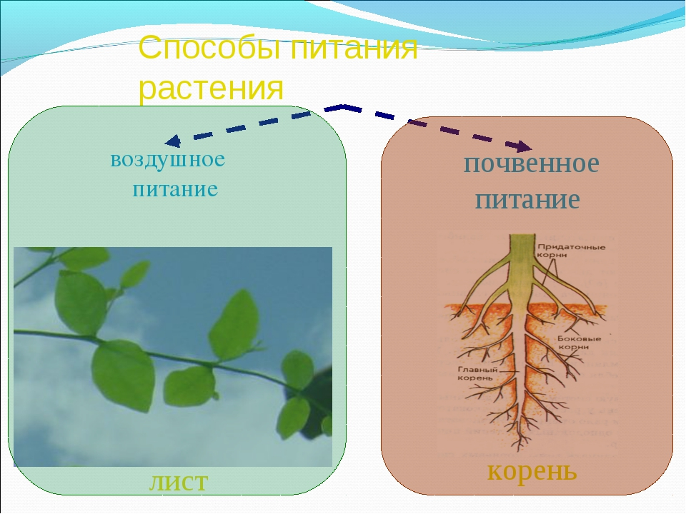Способы питания растения воздушное питание почвенное питание лист корень