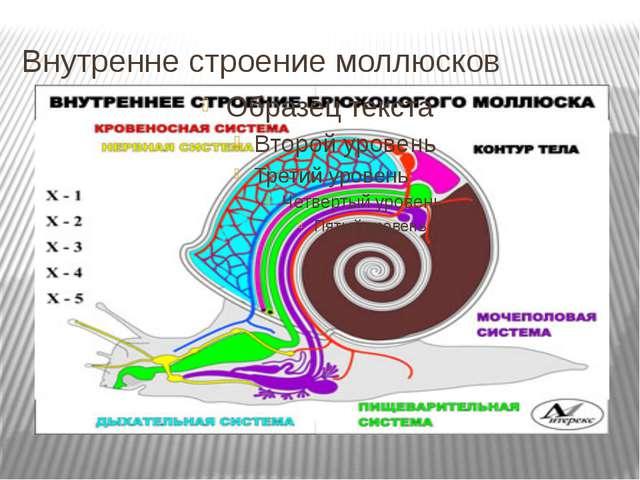Внутренне строение моллюсков