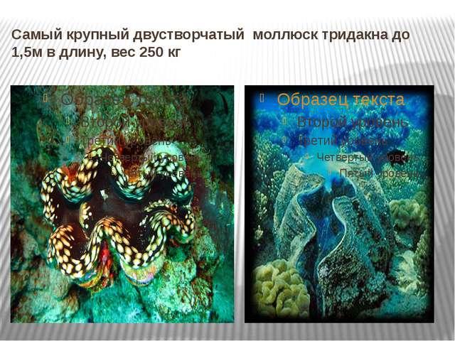 Самый крупный двустворчатый моллюск тридакна до 1,5м в длину, вес 250 кг