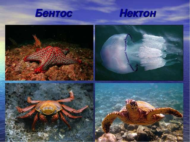Бентос Нектон