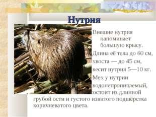 Нутрия Внешне нутрия напоминает большую крысу. Длина её тела до 60 см, хвоста