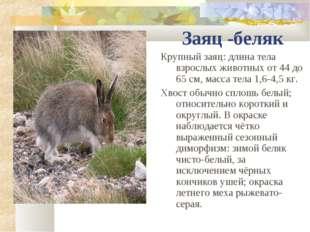 Заяц -беляк Крупный заяц: длина тела взрослых животных от 44 до 65см, масса