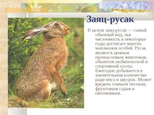 Заяц-русак В целом заяц-русак — самый обычный вид, чья численность в некоторы