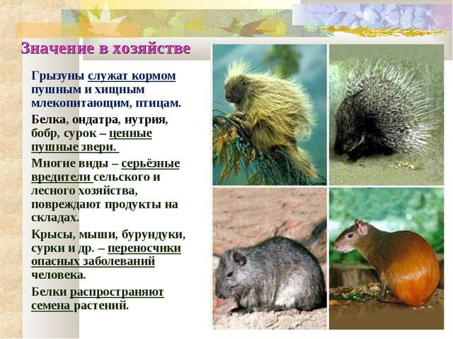 Значение в хозяйстве Грызуны служат кормом пушным и хищным млекопитающим, пти...