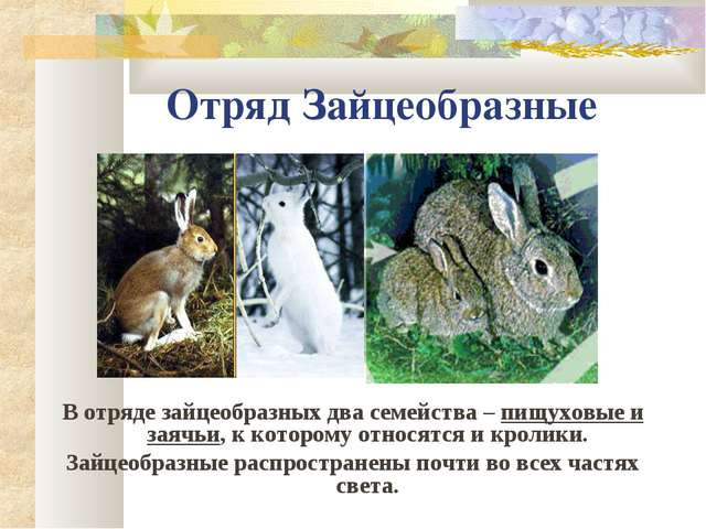 Отряд Зайцеобразные В отряде зайцеобразных два семейства – пищуховые и заячьи...