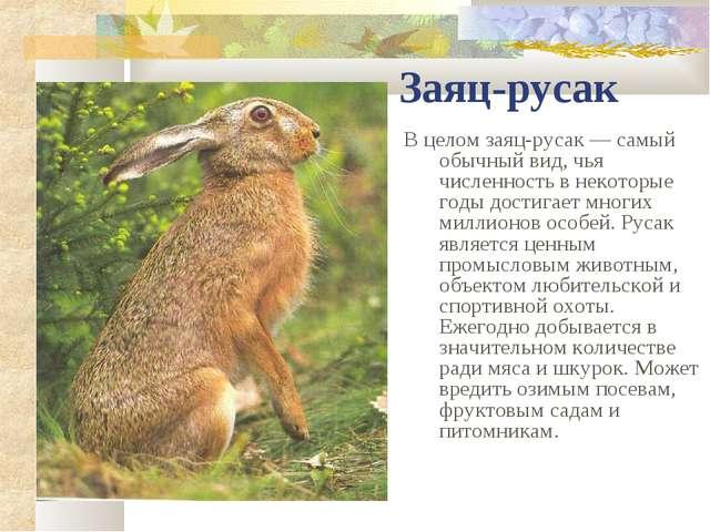 Заяц-русак В целом заяц-русак — самый обычный вид, чья численность в некоторы...