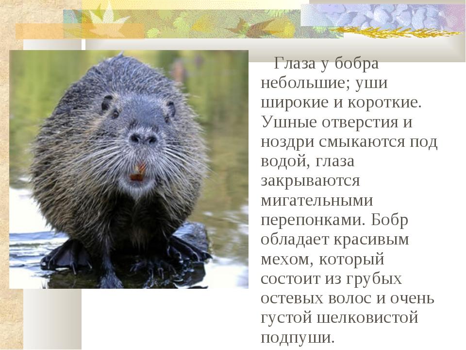 Глаза у бобра небольшие; уши широкие и короткие. Ушные отверстия и ноздри см...