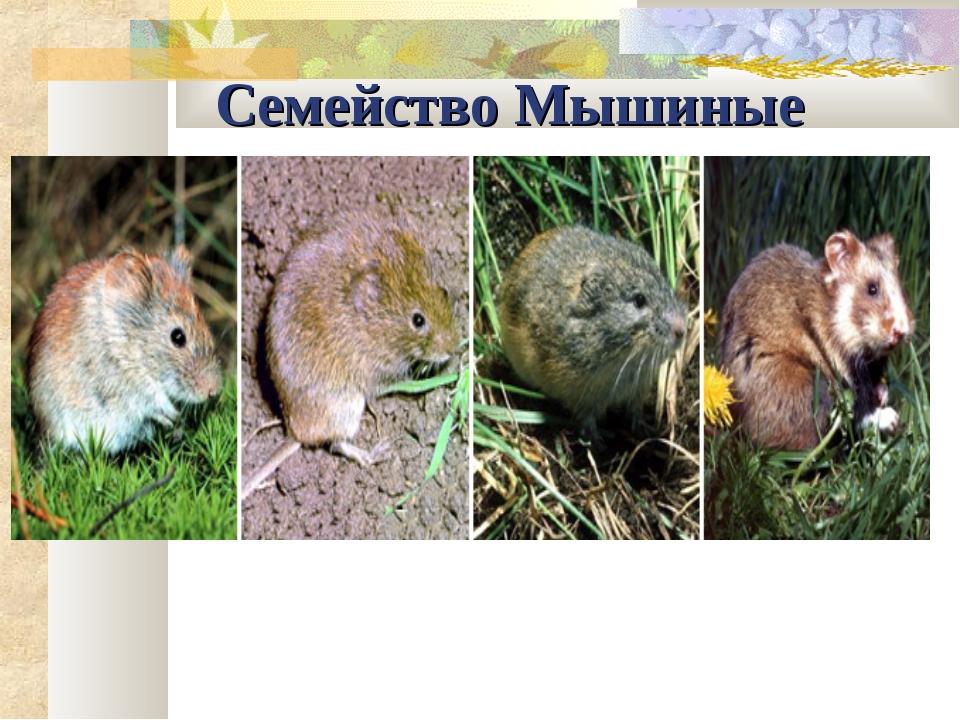 Семейство Мышиные