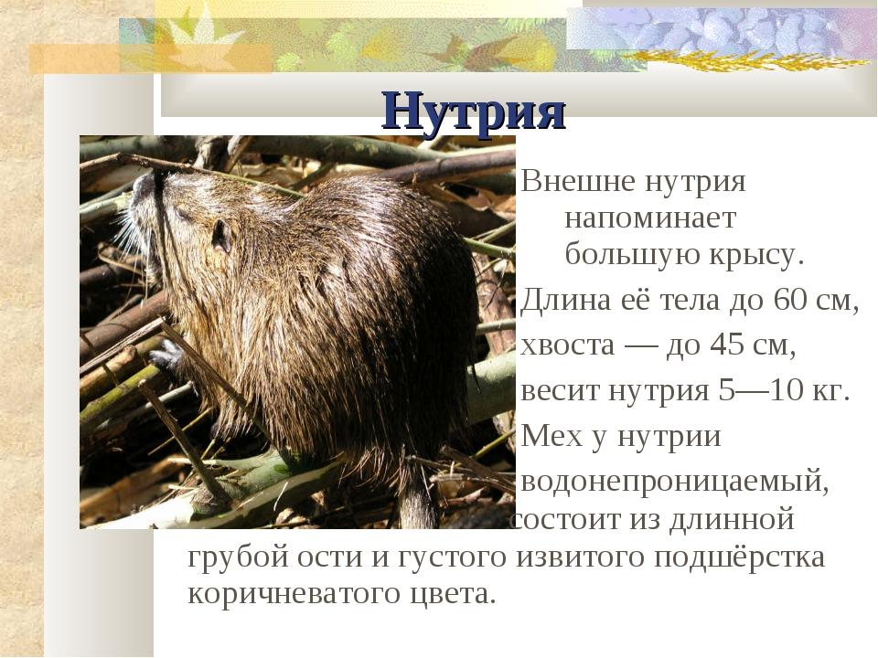 Нутрия Внешне нутрия напоминает большую крысу. Длина её тела до 60 см, хвоста...