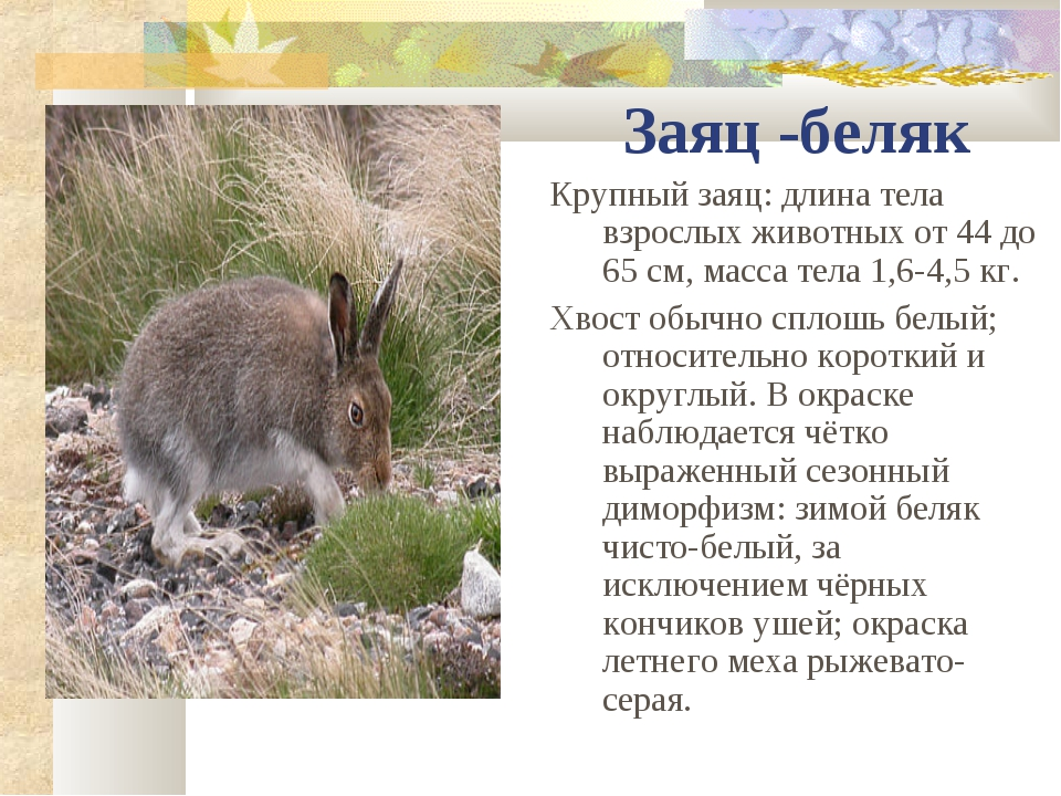 Заяц -беляк Крупный заяц: длина тела взрослых животных от 44 до 65см, масса...