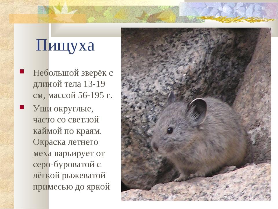 Пищуха Небольшой зверёк с длиной тела 13-19 см, массой 56-195 г. Уши округлые...