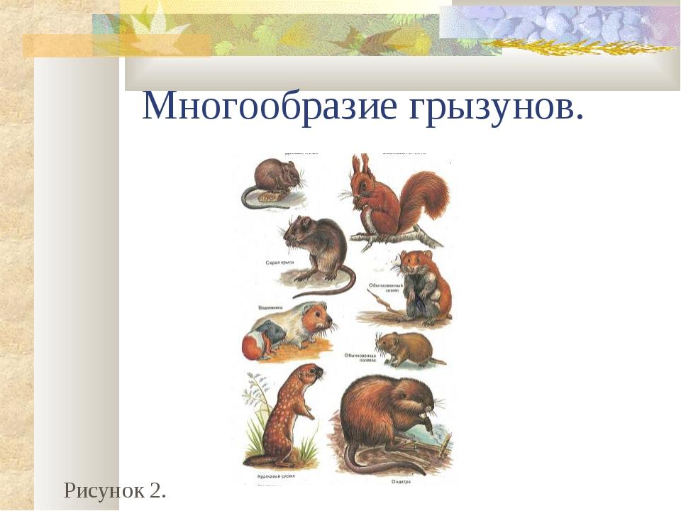 Многообразие грызунов. Рисунок 2.