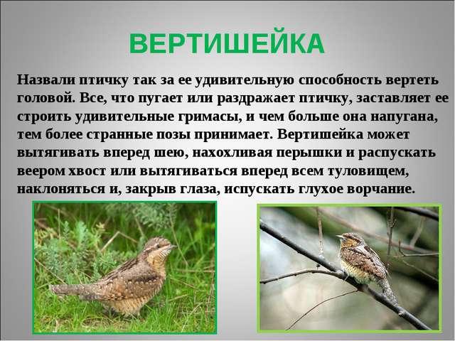 ВЕРТИШЕЙКА Назвали птичку так за ее удивительную способность вертеть головой....
