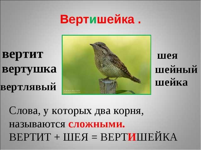 Вертишейка . вертит вертушка вертлявый шея шейный шейка Слова, у которых два...