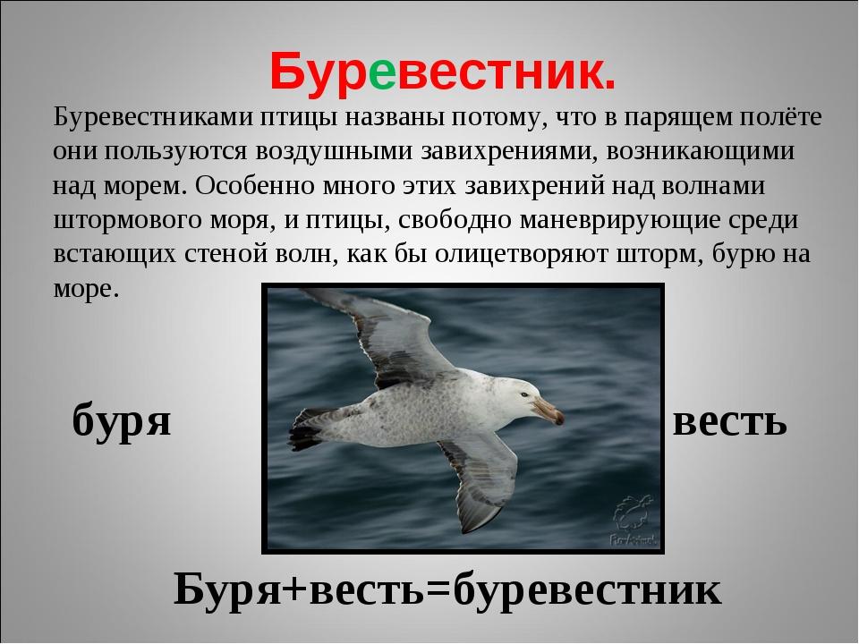 Буревестник. буря весть Буря+весть=буревестник Буревестниками птицы названы п...