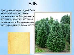 ЕЛЬ Цвет древесины однородный бело-желтоватый, иногда с лёгким розовым оттен