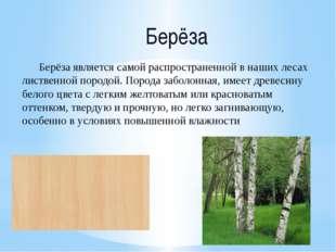 Берёза Берёза является самой распространенной в наших лесах лиственной породо