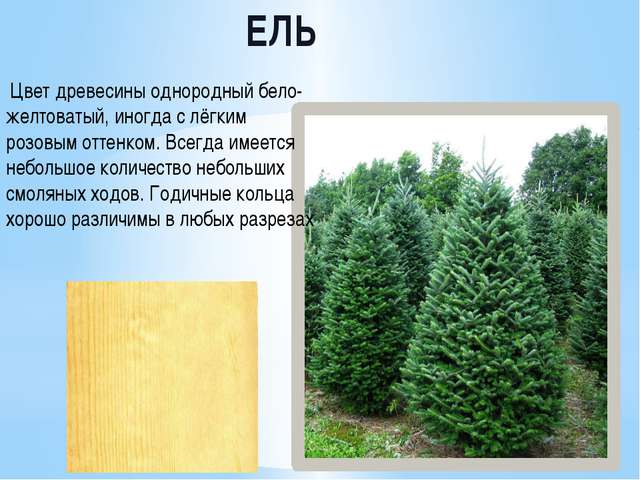ЕЛЬ Цвет древесины однородный бело-желтоватый, иногда с лёгким розовым оттен...