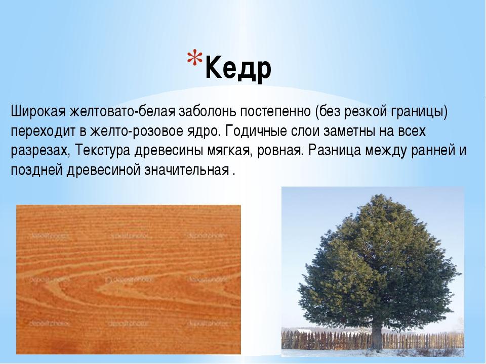 Кедр Широкая желтовато-белая заболонь постепенно (без резкой границы) переход...