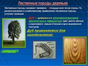 Лиственные породы деревьев Лиственные породы занимают примерно ¼ площади всех