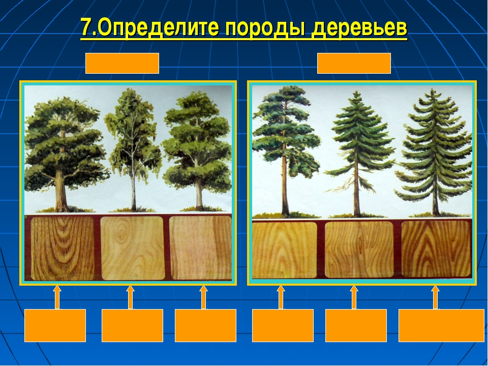 7.Определите породы деревьев
