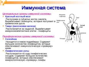 Иммунная система Центральные органы иммунной системы: Красный костный мозг Ра