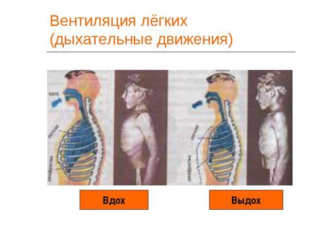 Вентиляция лёгких (дыхательные движения) Вдох Выдох