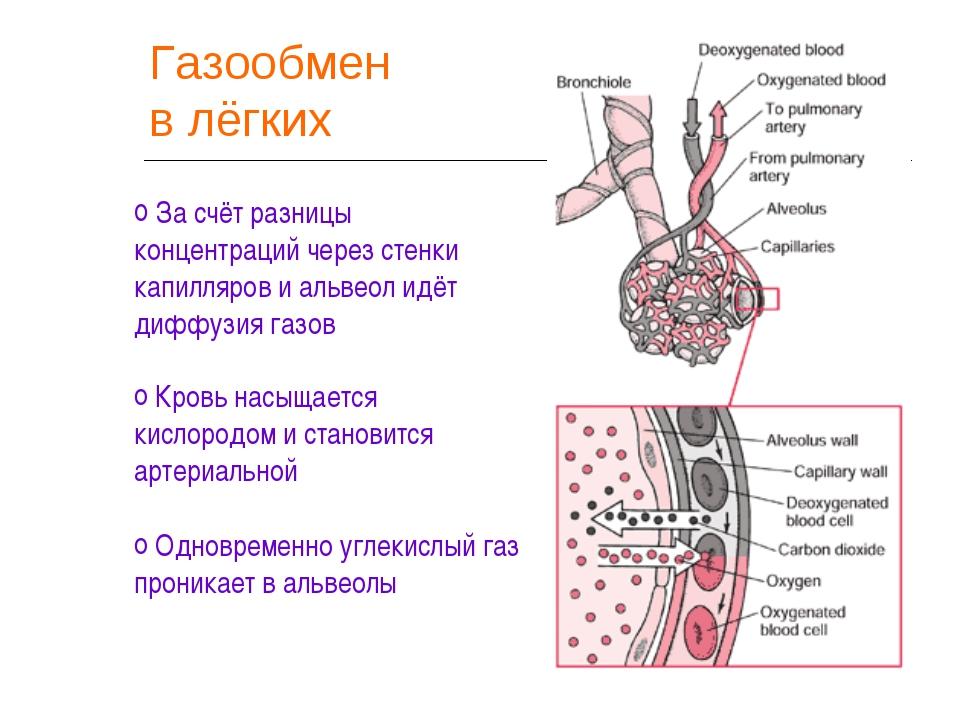 Газообмен в лёгких За счёт разницы концентраций через стенки капилляров и аль...