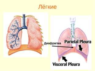Лёгкие Диафрагма